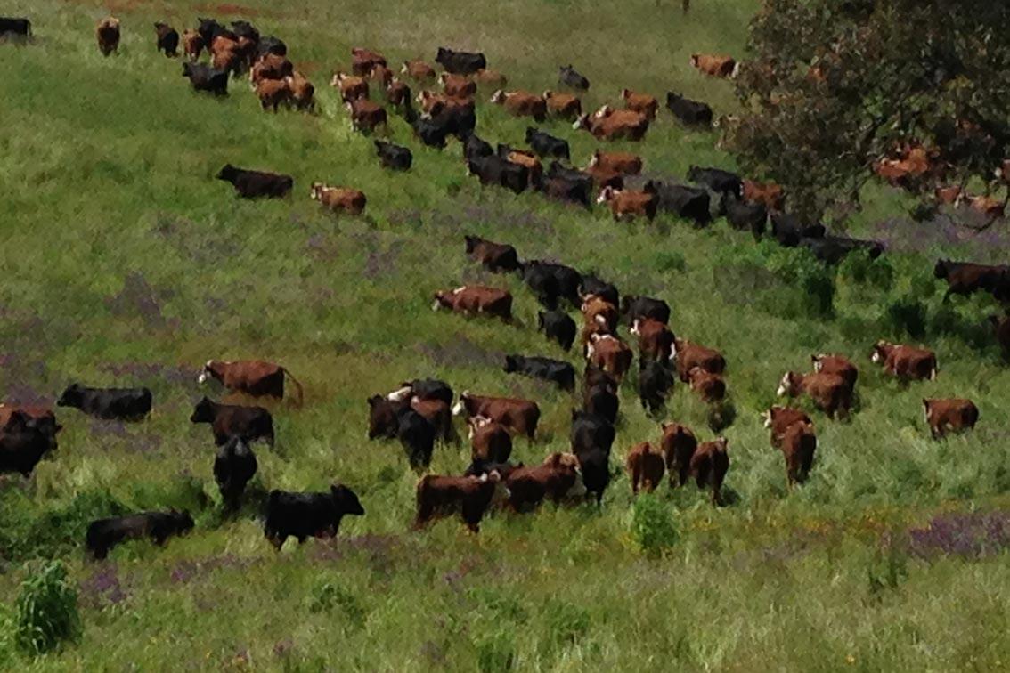 Cattle graze paddocks