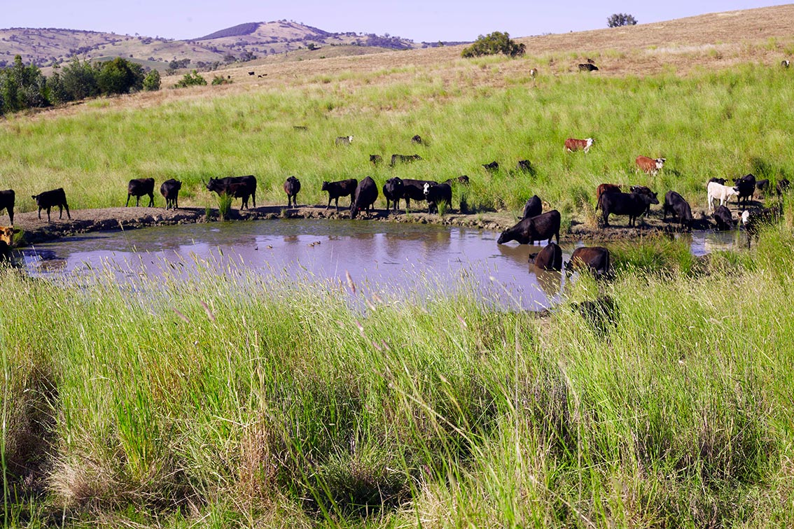 Cattle watering rotational grazing