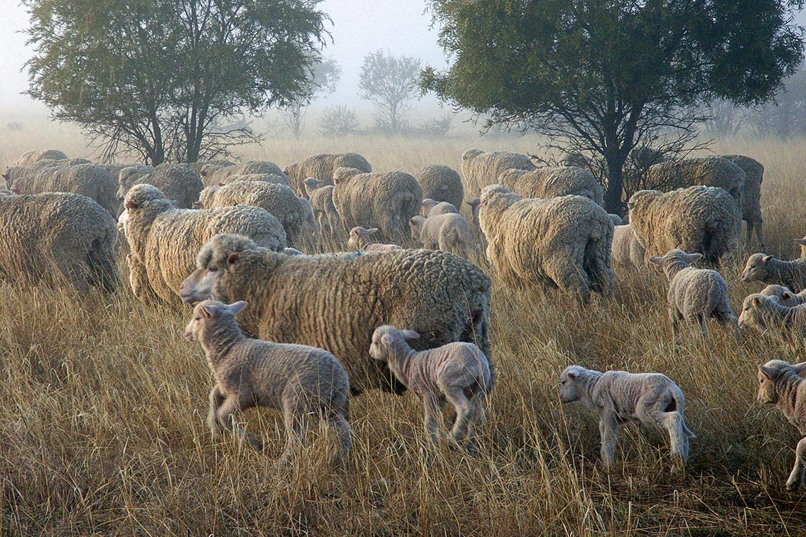 Planned Grazing Sheep
