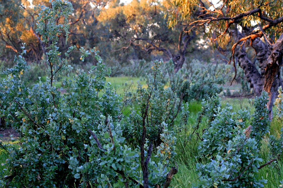 Saltbush ecological land